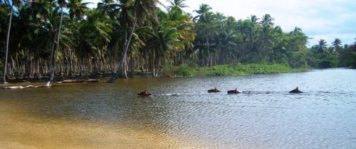 "A group of horses swim across the ""Cedro River"" near the beach of ""Playa Limon""."